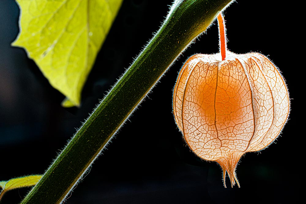 Physalis-Ernte