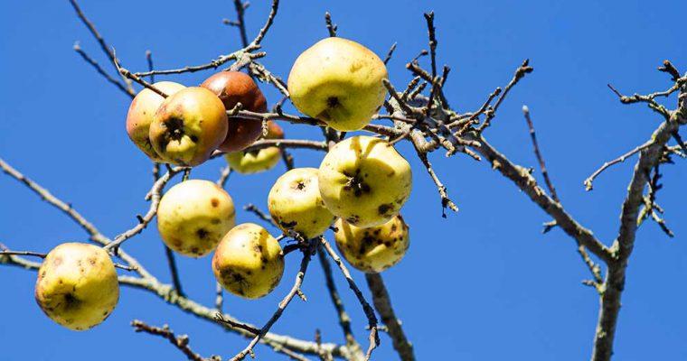 Im Sinn des Wortes: Winteräpfel